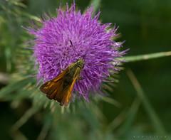 Interacción en cenital (Ahio) Tags: nature zeiss butterfly nikon butterflies insects 100mm mariposas arthropoda hesperiidae cenital zf2 mutualismo makroplanart2100 hespéridos d800e plantanimalinteraction