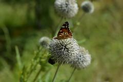 August 9 (deta k) Tags: berlin butterfly germany deutschland flora natur pflanzen falter insekten schmetterling blten sooc nikond7100