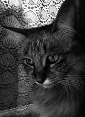 Deep in thought. Mishka, the Maine Coon Cat (sophie_merlo) Tags: bw cats texture cat blackwhite chat noir textures gato gatti monochrone ringexcellence blinkagain ilobsterit