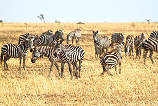 Zebra in the Central Serengeti