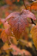 Þemaklúbburinn/ litir haustsins (helga 105) Tags: red leaves iceland drops special lauf rauður dropar helga105 einstakur