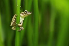 Common Tree Frog (Daniel Trim) Tags: tree nature animals photography asia wildlife south amphibian frog east malaysia shrub striped commontreefrog polypedates leucomystax fourlinedtreefrog