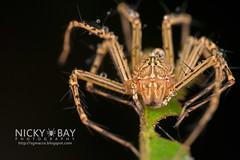 Lynx Spider (Hamadruas sp.) - DSC_5705 (nickybay) Tags: macro spider cambodia lynx oxyopidae hamadruas angkorforest