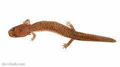 Spring Salamander ( Gyrinophilus porphyriticus), aquatic larval stage (DaveHuth) Tags: ny creek amphibian salamander houghton larva whitebox springsalamander gyrinophilusporphyriticus houghtoncreek taxonomy:binomial=gyrinophilusporphyriticus