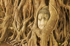 Buddha Head in Tree Roots, Ayuthaya (Kokkai Ng) Tags: old travel sculpture brown tree history tourism broken horizontal landscape thailand temple trapped ancient asia southeastasia day stuck head buddha religion bottom roots buddhism vandalism ayuthaya among root damaged blasphemy wat thepast origins rundown ayutthaya placeofworship intertwined mahathat humanhead traveldestinations watphramahathat watmahathat placeofinterest oldruin badcondition atthebottomof
