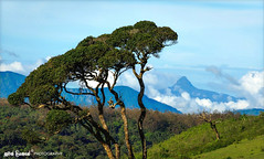 Sri Pada (Adam's Peak) Seen at Ambewela (Nuwan Liyanage - Sri Lanka) Tags: mountain tree horizontal nikon nopeople adamspeak nuwaraeliya ambewela mountainpeak d5100