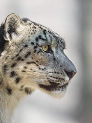 Profile of a sitting snow leopard (Tambako the Jaguar) Tags: wild portrait snow beautiful face cat germany zoo big nikon profile fluffy calm leopard karlsruhe attentive d4 uncia vision:text=0538