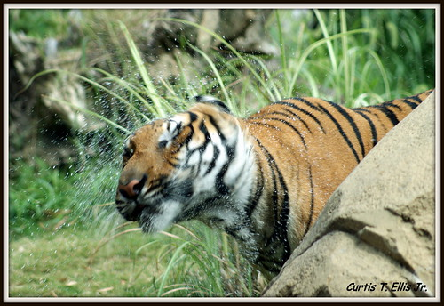Malayan Tiger Drying Off