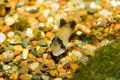 Fish-7166 (Line123a) Tags: fish male cat aquarium display catfish corydoras cory guppy courting corydoraspanda livebearer endlers pandacorycat displayforfemale poeciliaendlers