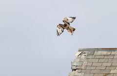 Flight (Jacob-Reef) Tags: vermont hawk redtailed buteojamaicensis