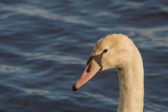 (Anton de Groot) Tags: swan natuur dieren dier brabant noord zwaan d3200 vierlingsbeek