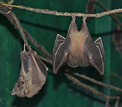 Two Short-tailed Fruit Bats