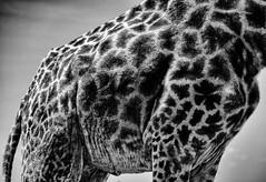 (Nathan A Rodgers) Tags: africa travel nature animal animals kenya wildlife nairobi safari giraffes giraffe eastafrica travelphotography nairobinationalpark