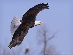 Avian Artistry (maryanne.pfitz) Tags: trees winter sky bird wisconsin fly flying photo eagle wildlife branches flight baldeagle feather soaring wingspan wisconsinriver necedah avianexcellence juneaucounty maryannepfitzinger map44508