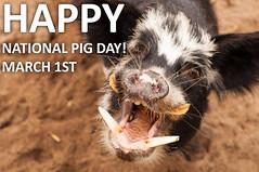 It's National Pig Day! (CarbonNYC [in SF!]) Tags: sfzoo familyfarm tiki pigday pig kunekune nationalpigday happynationalpigday smile tusks tusked newzoo carbonnyc zoo sanfrancisco sf sanfranciscozoo cz childrenszoo explorationzone ez farm bayarea california carbonsf pettingzoo outersunset sanfranciscozoogardens