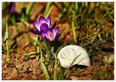 spring crocus (gurou45) Tags: flowers sun macro germany thringen spring seasons wiese crocus schnecke krokus frhling canoneos40d