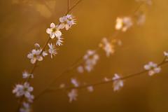 Aubépine (Philippe POUVREAU) Tags: ca flower fleur spring 7d paysage printemps 2014 loireatlantique saintbrévin paysderetz saintbrevinlespins
