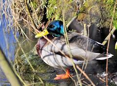 ducks-3 (gabriel_flr) Tags: bird birds duck enten vögel ente vogel waterbirds oiseaux rate rata wasservögel pasari nikond5000 gabrielflr gabrielflorea