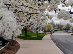 Spring 2014 - El Dorado Hills, CA (DreyerPictures) Tags: california white flower tree lumix spring outdoor panasonic eldoradohills m43 mirrorless gx7 microfourthirds m43ftw dreyerpicturescom