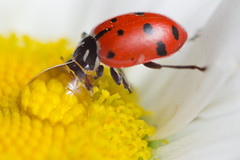 Taking a Drink (Quitefranklybb) Tags: red flower macro nature water up yellow lady bug insect close eating drinking daisy ladybug