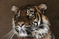 Tiger nr 1 (lindabosmuis) Tags: cats animals canon zoo big bush tiger arnhem burgers 70200mm dierentuin flickrbigcats