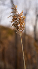 Gold (stephenisabellemaggie) Tags: sunset reed gold goldenhour earlyspring