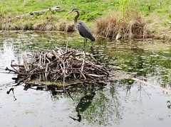 Lone heron (EcoSnake) Tags: water birds spring wildlife april lone greatblueheron herons naturecenter ardeaherodias gbh idahofishandgame