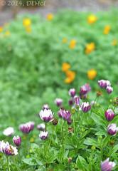 Flower study (i-lenticularis) Tags: leicam8 cron50 m8 flowers