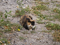 Autumn (universalcatfanatic) Tags: autumn orange cats white black green eye broken grass yellow stone cat out concrete outside gold grey golden eyes bell pavement stones side gray cement tortoiseshell dandelion calico tortie lay laying