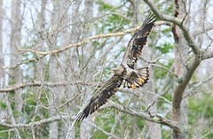 Sub III (Pinelandwood) Tags: eagle baldeagle raptor eagles raptors eaglesbaldeagle baea eagleraptor