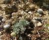 Eriogonum ovalifolium var. nivale 100_0928 (sierrarainshadow) Tags: eriogonum var ovalifolium nivale