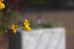 Blossoming (alcidesota@yahoo.com) Tags: nikon d3s cabodevassoura nikond3s