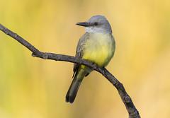 Tropical Kingbird (Hockey.Lover) Tags: tropicalkingbirdbirds 2015 explore contracostacounty heatherfarmpark