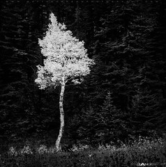 Flaming Aspen (Matt Anderson Photography) Tags: bw usa white black tree leaves pine wisconsin forest square glow northwest outdoor north scenic nobody nopeople brush madison solo trunk lone birch wyoming grandtetons deciduous curve toned solitary luminous zone luminescence coniferous lansdscape quaking curvey mattanderson beautyinnature mattandersonphotography