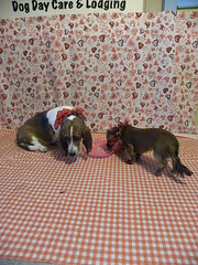 Daisey & Einstein (happy_hounds) Tags: dogdaycare dog daycare puppy pups boarding cagefree dogsofflickr purebred rescuedog happyhounds plymouthmichigan happyhoundsdogdaycare