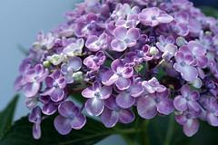 Hydrangea flowers (crafty1tutu (Ann)) Tags: pink flower macro garden lilac hydrangea flowery anncameron canon50d inmyneighboursgarden ilovemypics qualitypixels lovelylovelyphotos gettycontributor crafty1tutu canon180mm35lseriesmacrolens frogpondflorals lamiasonata