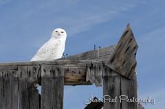 Snowy Owl - Perched (jeanniepaul) Tags: owl snowyowl barnboard jeanpaulphotography