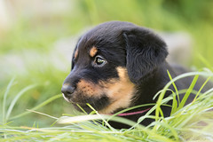 Amika (Maria Zielonka) Tags: dog puppy photography mix puppies fotografie fotografieren outdoor shepherd maria hund doberman hybrid mischling welpe schferhund dobermann welpen zielonka schferhunddobermann