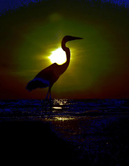 Sunset (Tomhee) Tags: blue sunset heron silhouette exposure great over