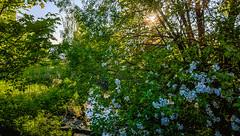 25.5.2016 Keskiviikkoaamu Wednesdaymorning Turku bo Finland (rkp11) Tags: morning primavera sunshine sunrise suomi finland wednesday dawn spring turku may bluesky mai aurora mayo mei printemps hdr maggio springtime frhling maj appletrees wiosna   bo 2016 molla 5   kevt lumia aamu  auringonnousu toukokuu omenapuut mays  auringonpaiste pitkmki keskiviikko     southwestfinland aamunkajo aamunkoi lumia1020 2552016 pitkmenkatu 2452016