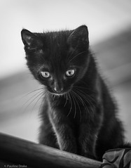 Little Miss (pollydrake75) Tags: blackandwhite cute cat kitten small kitty whiskers