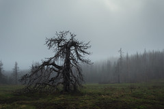 Dreaded Whomping WIllow (JustinMullenPhotography) Tags: flowers trees wild plants mountain tree nature misty landscape outdoors hiking branches foggy trails harry potter climbing willow wilderness whomping