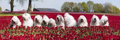 All 10 (GdeB fotografeert) Tags: oes oldenglishsheepdogs withfriends tulpenveld bergentheim flickrexplored rheaenlisa gdebfotografeert mei2016