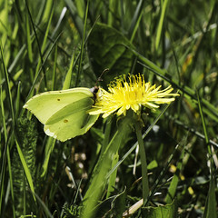 Brimstone (me'nthedogs) Tags: butterfly somerset levels brimstone westhay