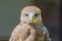 Yellow-billed Kite (parry101) Tags: kite bird birds yellow for centre international prey captive billed icbp