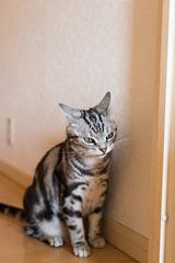 DSC_3531 (catfish.boogie) Tags: japan cat sapporo hokkaido nikkor50mmf18g nikond750