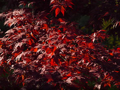 roter Spitzahorn (bratispixl) Tags: nature germany jahreszeit oberbayern mai frhling baumblte chiemgau traunreut blattfarben stadtrundweg bratispixl