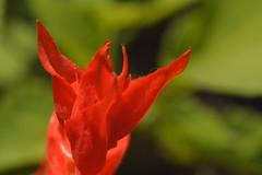 Salvia splendens (bazazga) Tags: flower macro scarlet sage
