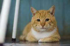 (Jos Mauricio Garijo) Tags: brazil portrait pet animals cat gatos gato felinos felino animais