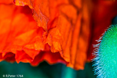 poppy 4516 (R-Pe) Tags: show camera abstract canon photo nikon foto fotografie photographie sony picture pic exhibition peter gift bild geschenk ausstellung aufnahme melancholie 1764 rpe rbi 1764org www1764org